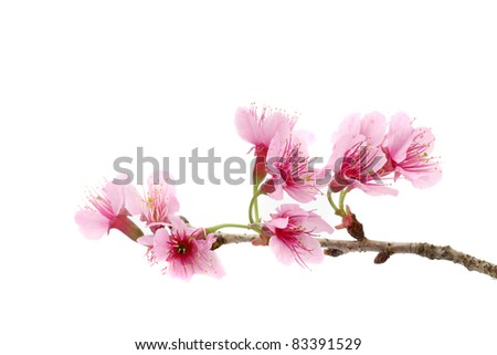 Cherry blossom , pink sakura flower isolated in white background