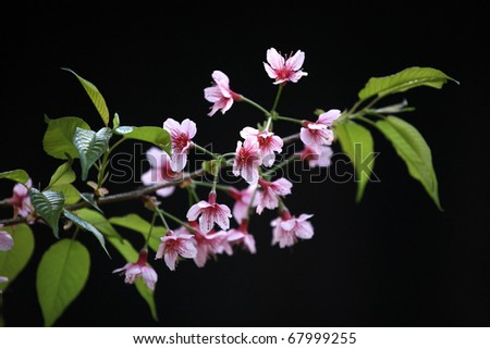 Cherry Blossom Sakura flower isolated in black background