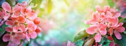 Cherry blossom, sakura flowers. Abstract blurred wide background of spring  blossoms tree, selective focus.