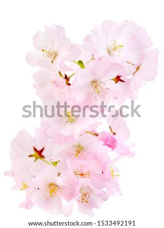 Cherry blossom, sakura flowers isolated on white background . #1533492191