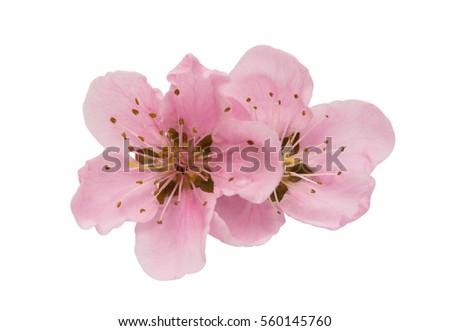 Shutterstock Cherry blossom, sakura flowers isolated on white background