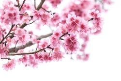 Cherry blossom, sakura flowers isolated on white background Cherry blossom, sakura flowers isolated on white background Cherry blossom, pink flowers in blooming isolated on white background