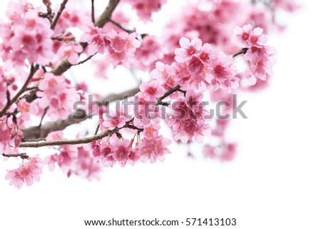 Cherry blossom, sakura flowers isolated on white background\ Cherry blossom, sakura flowers isolated on white background\ Cherry blossom, pink flowers in blooming isolated on white background