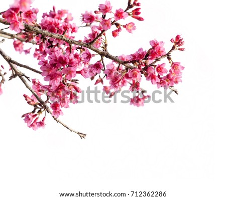 Cherry blossom, sakura flowers isolated on white background Cherry blossom, sakura flowers isolated on white background Cherry blossom, pink flowers in blooming isolated on white background