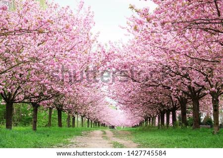 Cherry blossom (Sakura) in Berlin, Germany