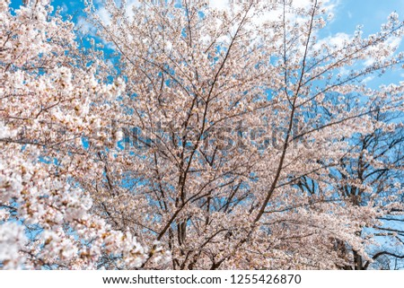 Cherry blossom sakura trees isolated against blue sky with pink flower petals in spring, springtime Washington DC or Japan, branches