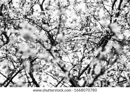 Cherry blossom. Selective focus at background and shallow depth of field. Blurry flowers, bokeh at foreground. Sad spring landscape. Mourning, grief, sorrow concept. Funeral flowers. Black white photo Сток-фото ©
