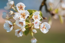 Cherry blossom. Spring blossom. White and pink with blue and green background