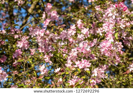 Cherry blossom, spring flower on pink blossoming branch with sakura flowers