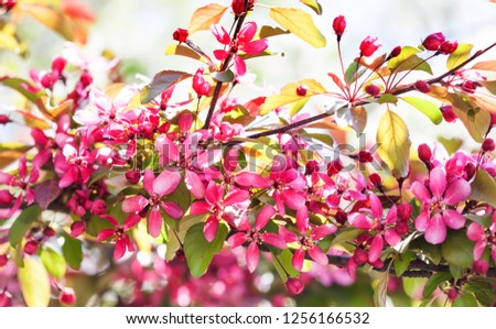 Cherry blossom spring time sunny day garden landscape. Blossoming purple petals fruit tree branch, tender blurred green bokeh background. Shallow depth of field.