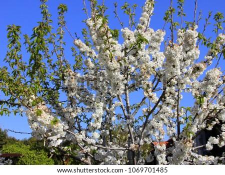 cherry blossom tree #1069701485