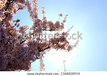 Cherry blossom tree #1368828914