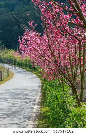 Cherry blossom,tree - Shutterstock ID 367517102