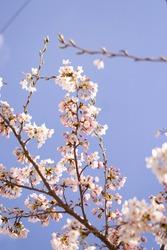 Cherry blossom tree branch on a blue sky