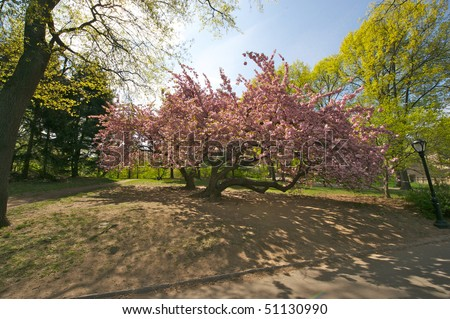 Blossom tree in full bloom on a spring day in central park in new york