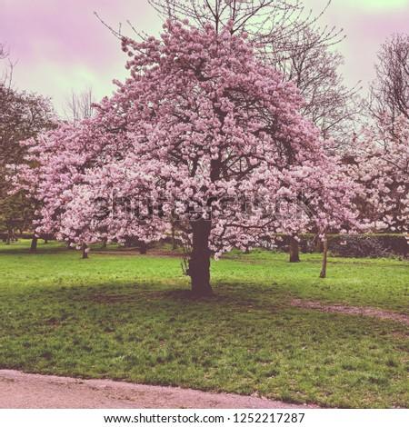 Cherry blossom tree London