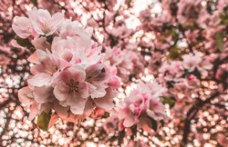 Cherry blossom tree pink blooming flowers on branches as spring floral botanical pattern backdrop background