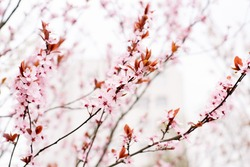 cherry blossom tree, spring background for hanami