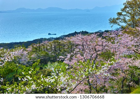 Cherry-blossom Trees Blooming in Mt. Ryuou in the City of Sanyo-Onoda, Japan, with the Hazy Spring View of the Sea of Suou (the Seto Inland Sea) and the Mountains of Shimonoseki City in the Background