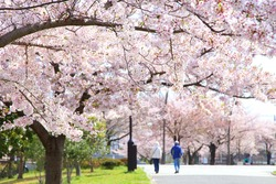 Cherry blossom trees in a park