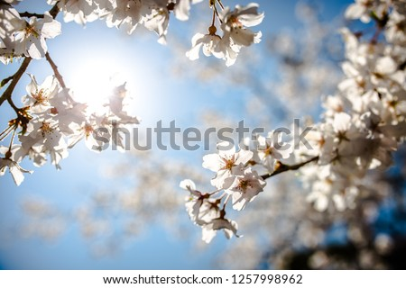 Cherry blossom under the sun. #1257998962