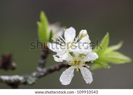 Cherry blossom , white sakura flower