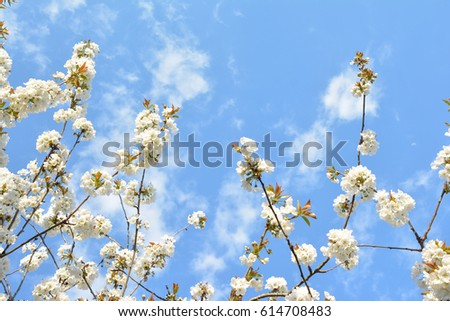 Cherry Blossom with a sky on background spring season
