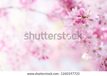 Cherry blossom with beautiful flower bud and young booming flowers. Soft bokeh background. Shallow depth of field for dreamy feel. #1260197725