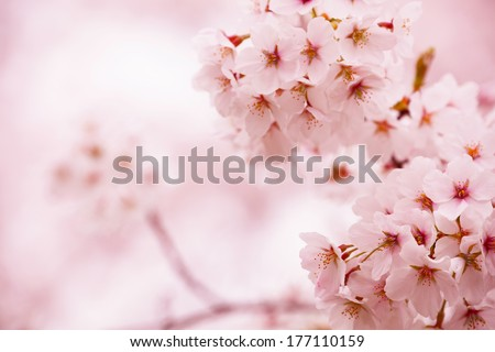 Cherry blossom with beautiful pink background.