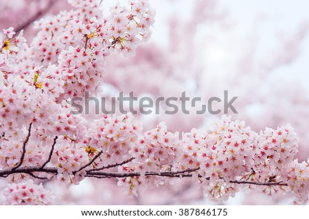 Cherry Blossom with Soft focus, Sakura season in korea,Background