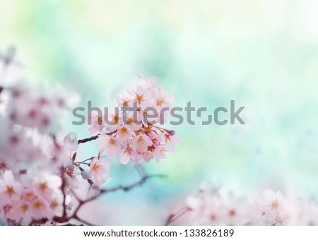 Cherry blossom with soft pastel blue background