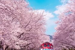 Cherry blossom with train in spring in Korea is the popular cherry blossom viewing spot, jinhae South Korea.