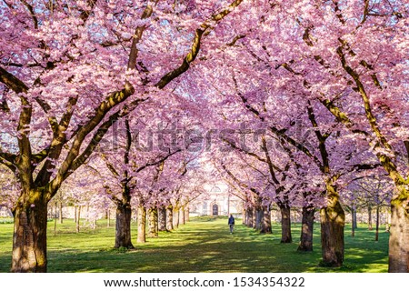 Cherry blossoming trees in sunny park. Sakura Cherry blossom alley. Wonderful scenic park with rows of flowerind cherry sakura trees and green lawn in spring, Schwetzingen, Germany.