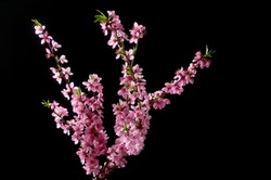 Cherry blossoming twig on black background