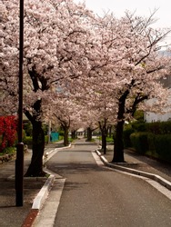 Cherry blossoms along empty windy road in countryside of Japan, Kitakyushu