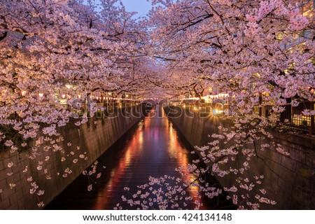 Cherry Blossoms Along the Meguro River, Tokyo Japan