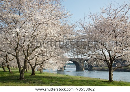 Cherry Blossoms along the Schuylkill River in Philadelphia