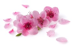 Cherry blossoms and petals isolate on a white background