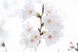 Cherry blossoms are blooming.  Cherry blossoms are the symbol of spring in Japan. Spring in Japan is known for the blooming of cherry blossoms.