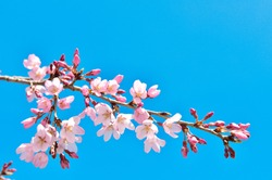 Cherry blossoms are the symbol of spring in Japan. Spring in Japan is known for the blooming of cherry blossoms.
