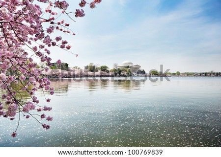 Cherry blossoms at Jefferson Memorial in Washington DC
