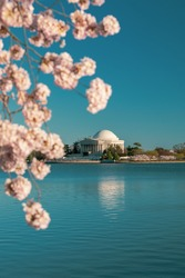 Cherry blossoms blooming at the tidal basin in Washington DC with the Jefferson Memorial under construction in the background.