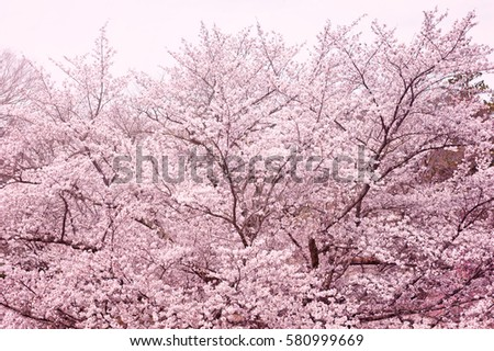 Cherry blossoms, cherry blossom trees