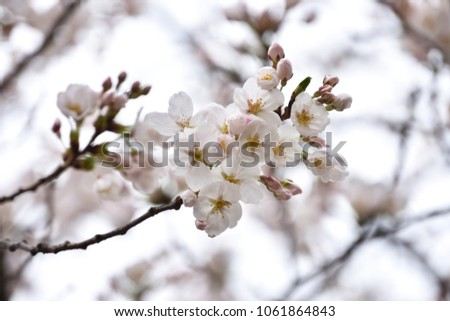Cherry blossoms. (cherry blossoms are blooming in spring)