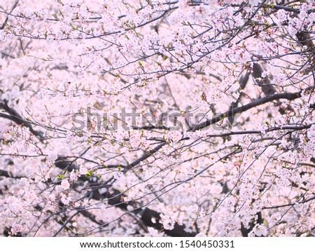 Cherry blossoms, cherry blossoms, many cherry blossoms #1540450331