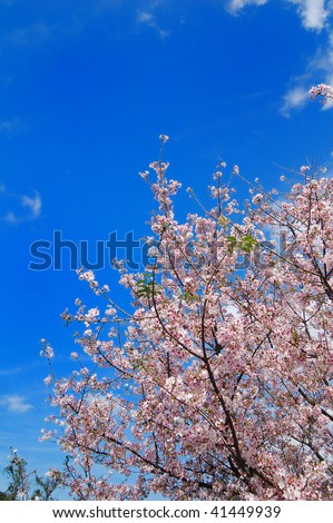 cherry blossoms in bloom - stock photo