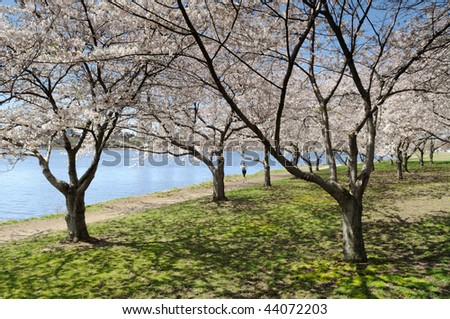 Cherry blossoms in early spring. People jogging along Charles River, Cambridge, Massachusetts
