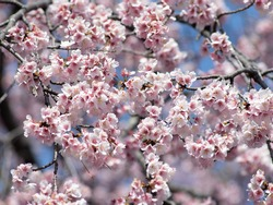 Cherry blossoms in full bloom. A Japanese spring scene.
