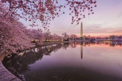 Cherry blossoms in peak bloom. Washington D.C.
