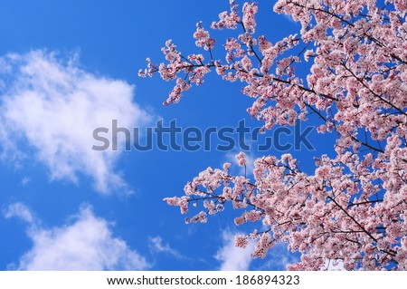 Cherry blossoms in spring under a blue sky with some small clouds.